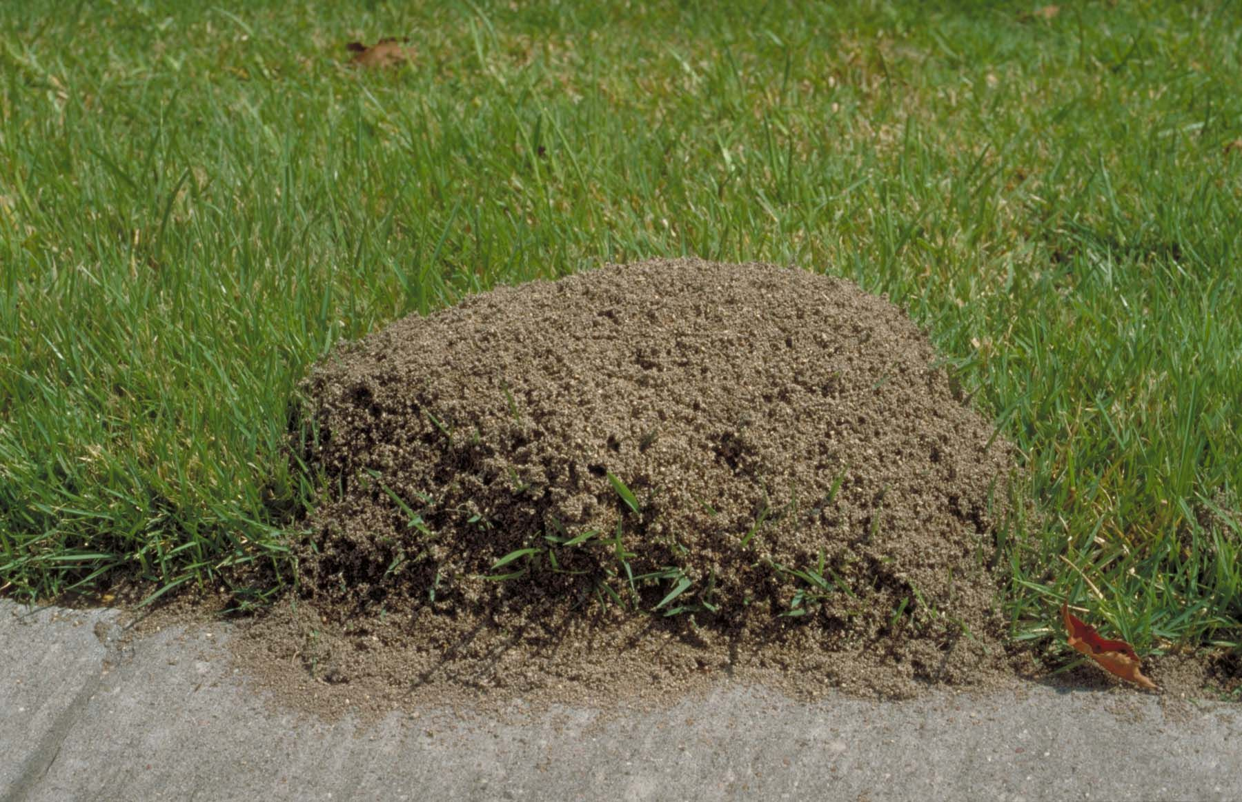 fire ants reappear after recent rains agrilife todayagrilife today