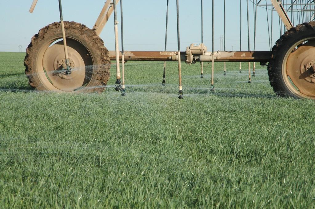 wheat under irrigation