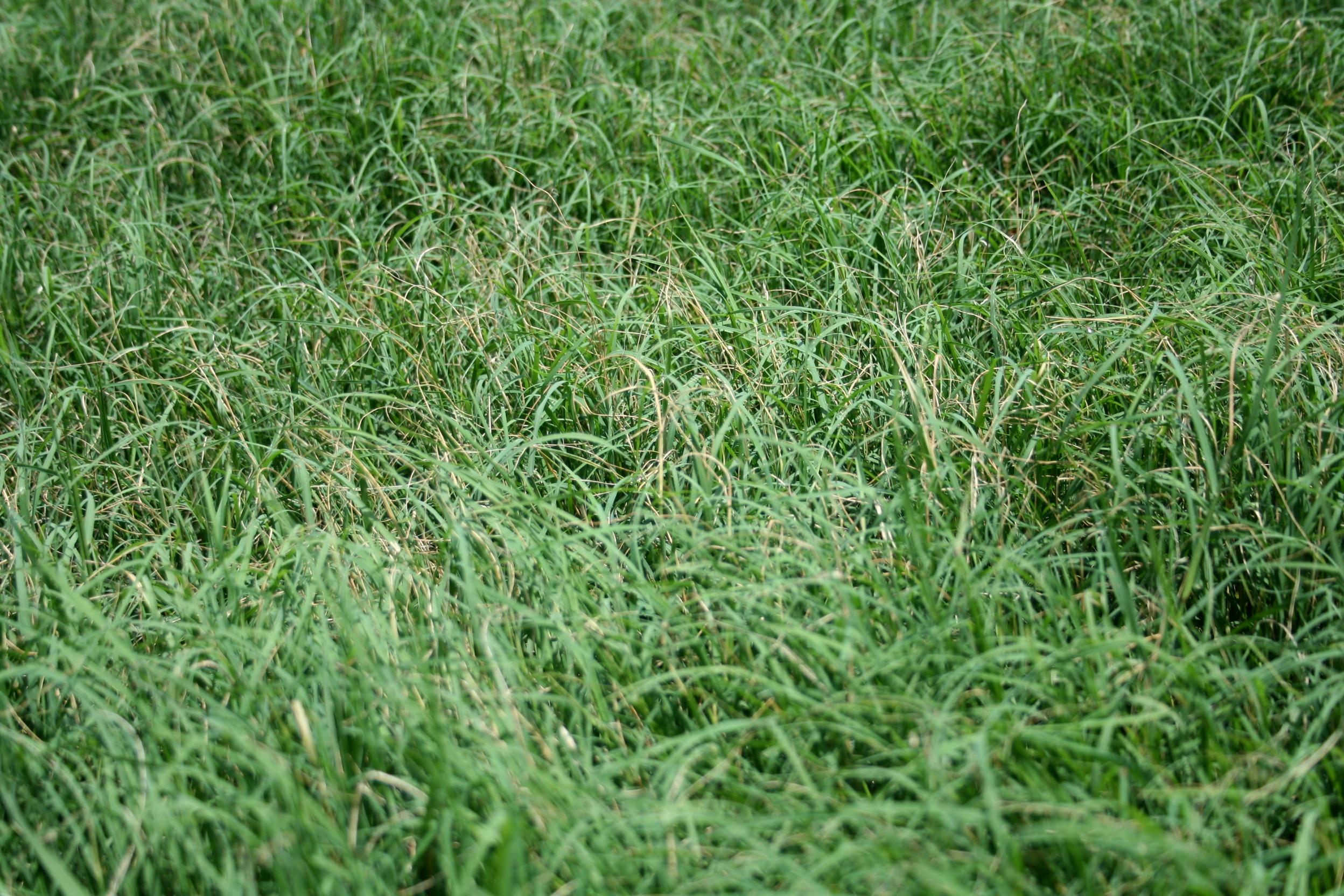 Stem Maggot Damage To Bermuda Grass Agrilife Today