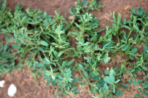 Winter lentils are being tested in the Rolling Plains climate. (Texas A&M AgriLife photo by Kay Ledbetter)