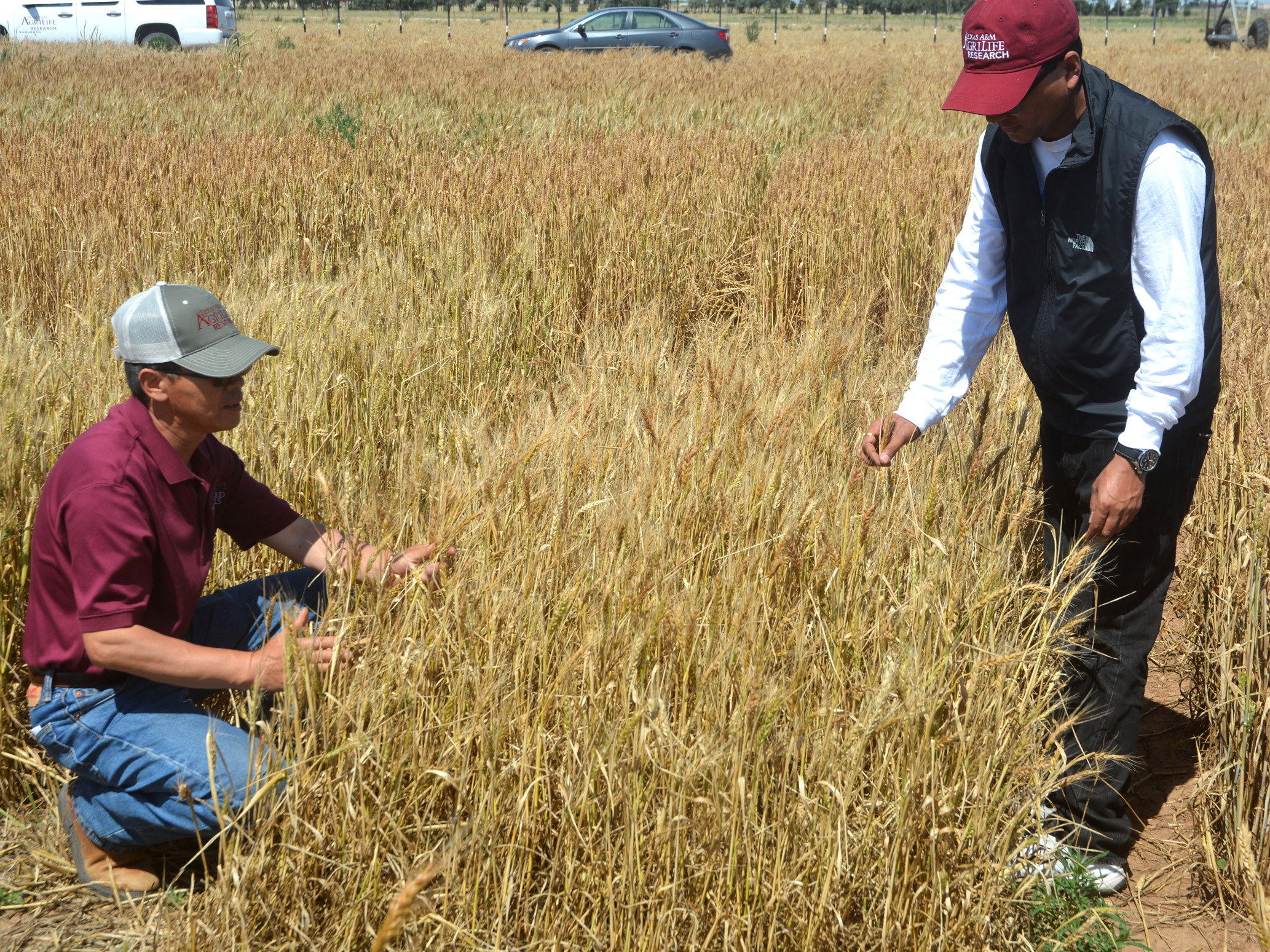research papers on wheat production Abstract despite the routine collection of annual agricultural surveys and significant advances in gis and remote sensing products, little econometric research has integrated these data sources in additionally, less than 1% of all wheat production takes place outside the four regions studied in this paper.