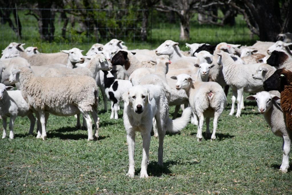 A livestock guardian dog protecting his flock of sheep.