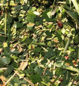 Chopped forage sorghum