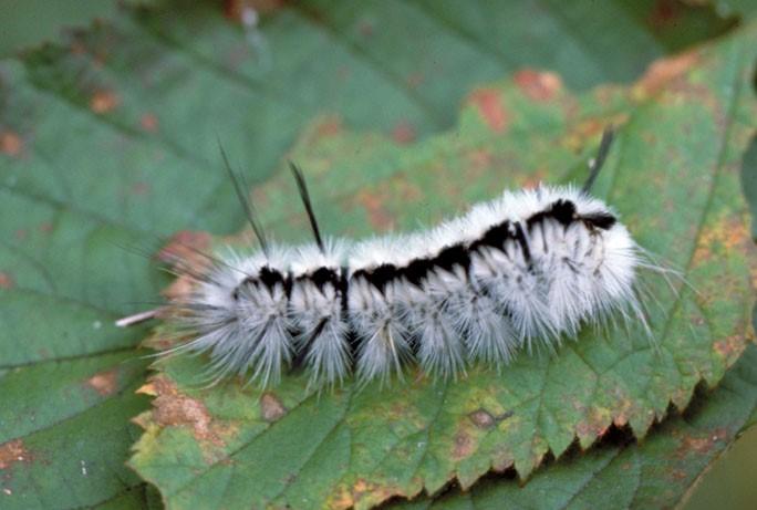 Stinging caterpillar season starts