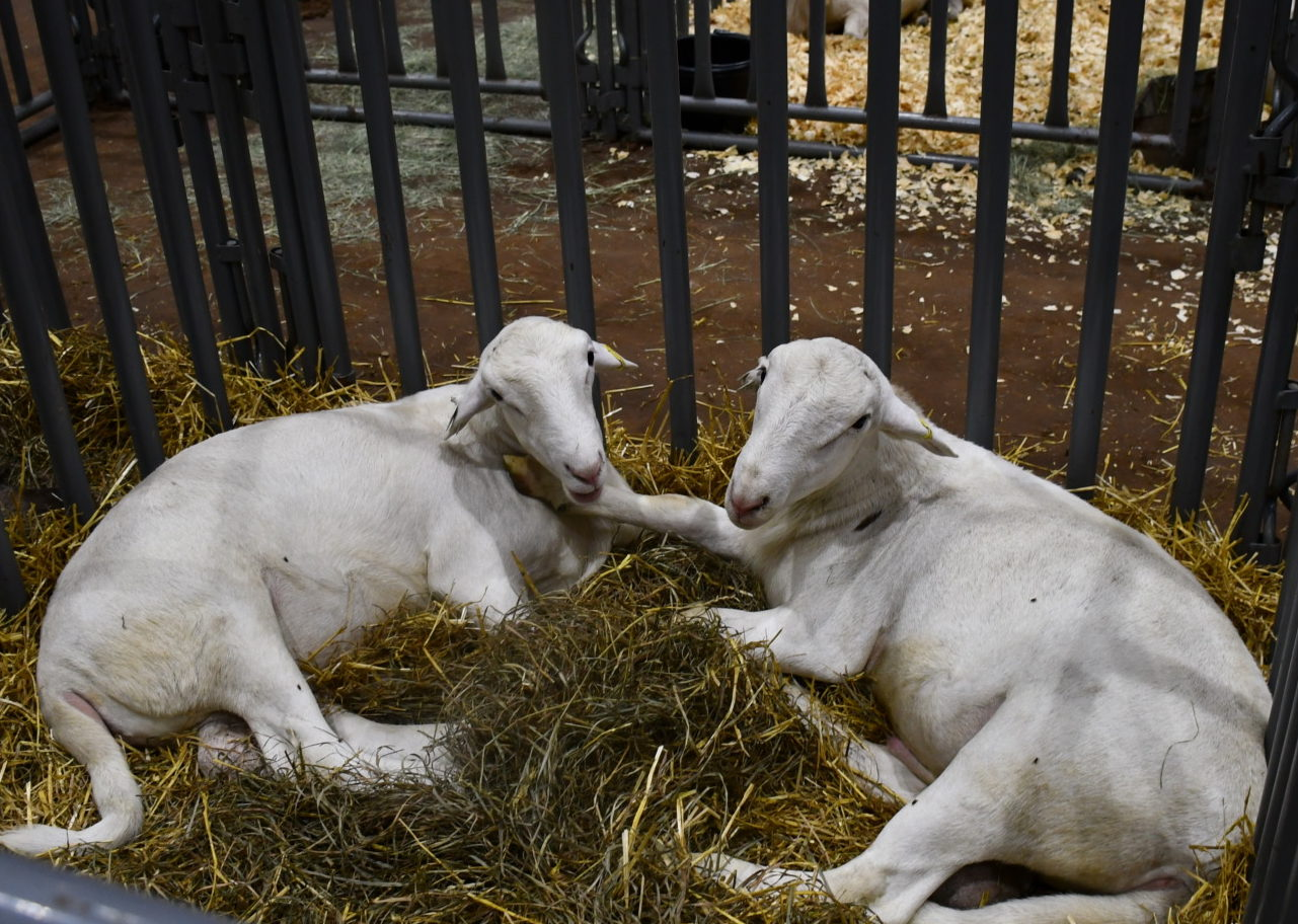 Texas Sheep and Goat Expo goes virtual